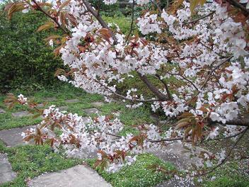 28山座桜2.jpg