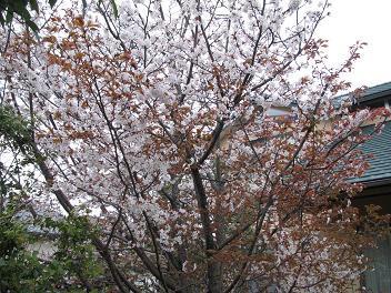 28山桜1.jpg