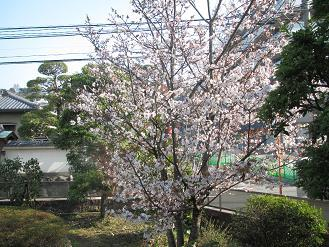 山桜27.jpg